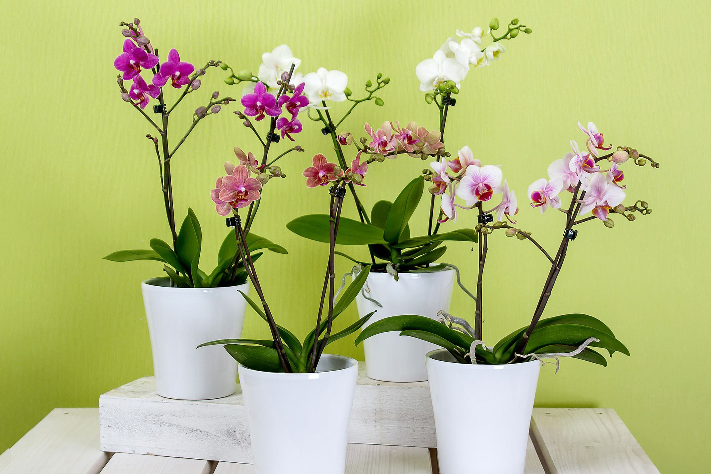 macetas phalaenopsis