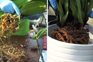 Cómo plantar y trasplantar una orquídea paso a paso