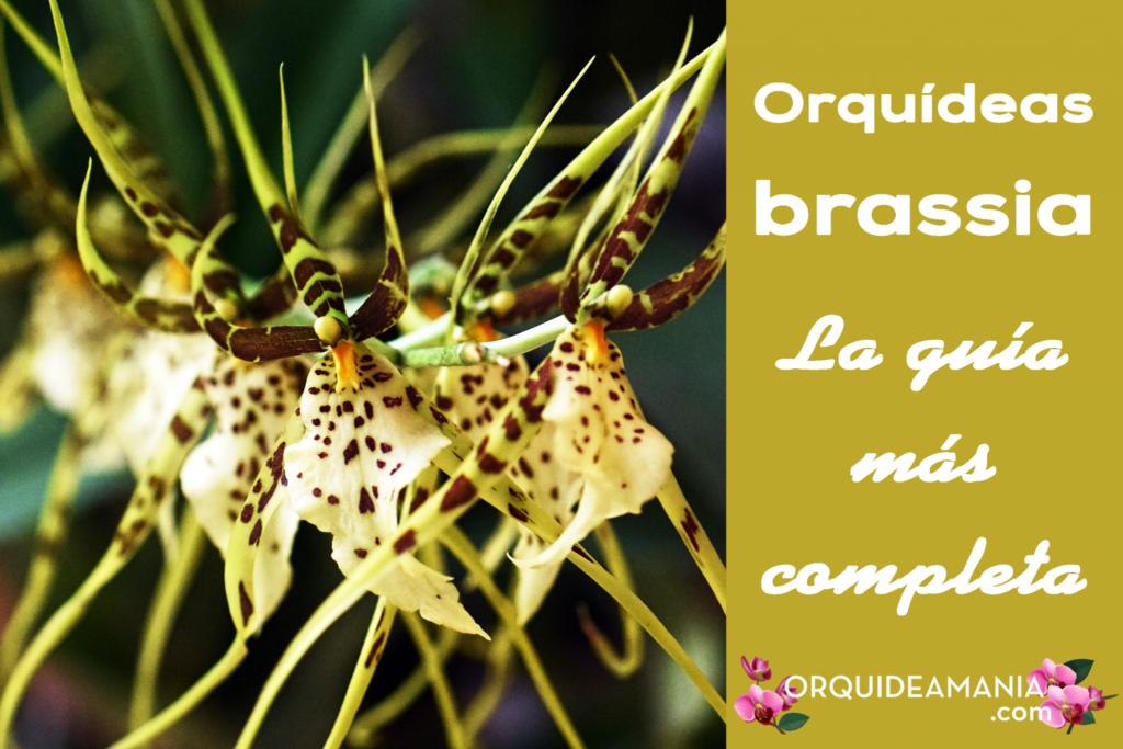 Guía completa de las orquideas brassia