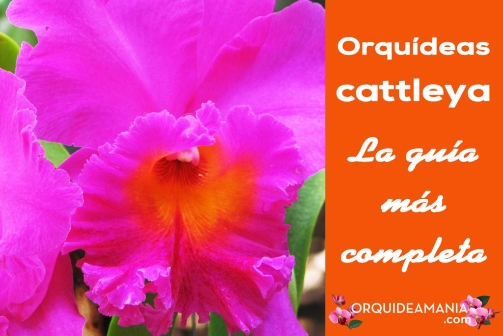 guia completa orquidea cattleya