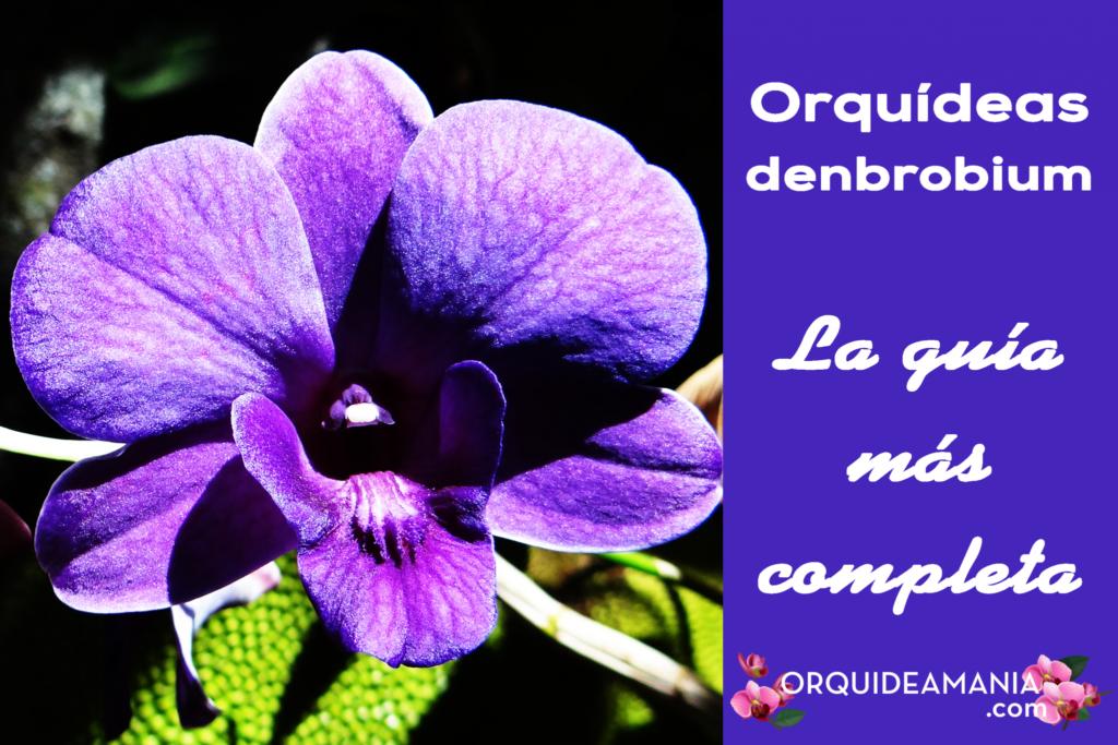 guia completa orquidea denbrobium