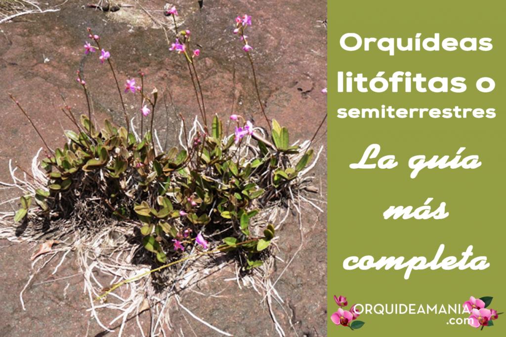 orquideas semi terrestres terricolas