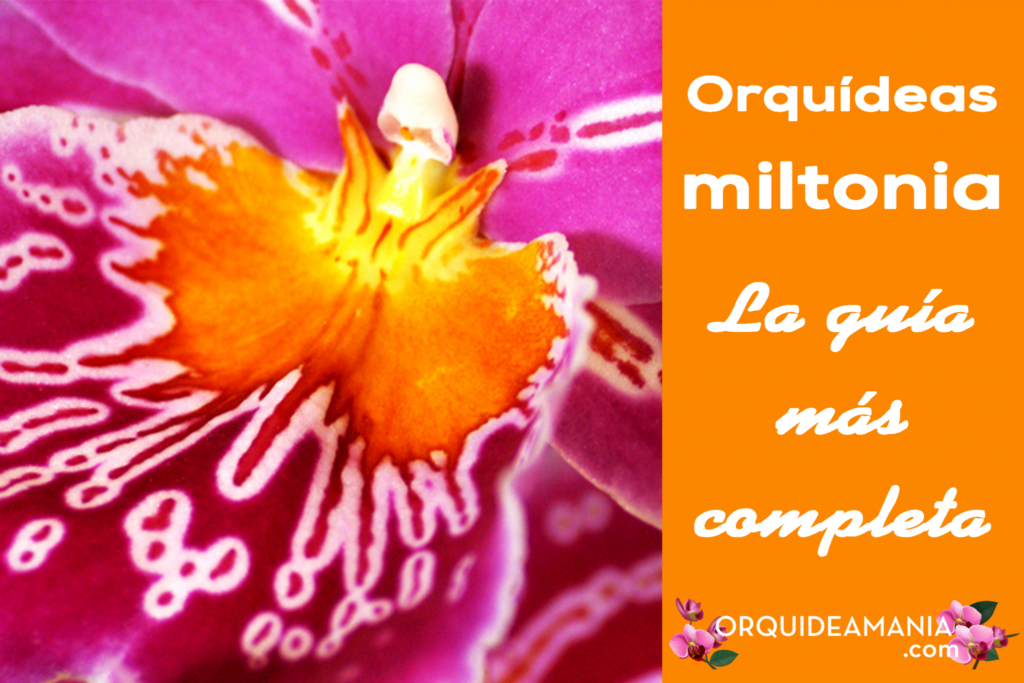 guia completa orquidea miltonia