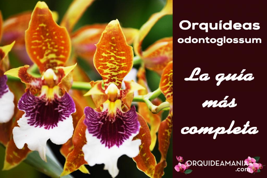 guia completa orquidea odontoglossum