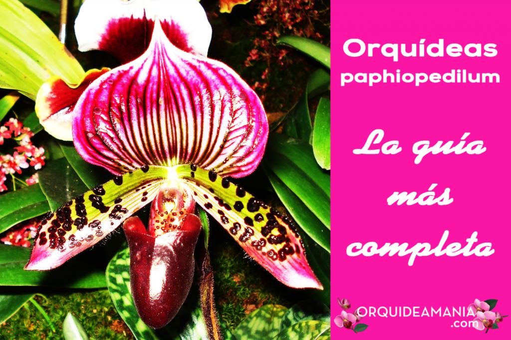 guia completa orquidea paphiopedilum