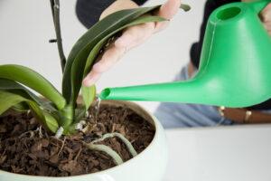 Cómo regar una orquídea | La guía más completa