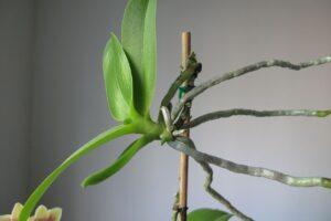 Cómo reproducir orquídeas en casa paso a paso