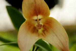 Orquídea Cara de Mono | Te descubrimos la orquídea Dracula Simia