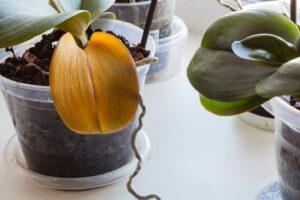 Orquídea con hojas amarillas | Causas y soluciones