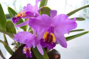 Orquídeas de Venezuela