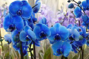 Orquídea azul | Significado, cuidados y fotos