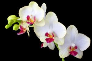 Orquídeas blancas | Significado, cuidados y fotos