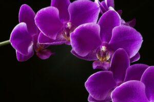 Orquídeas moradas | Significado, cuidados y fotos