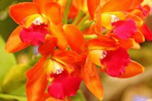 Orquídea naranja | Significado, cuidados y fotos