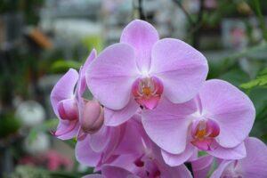 Orquídea rosa | Significado, cuidados y fotos