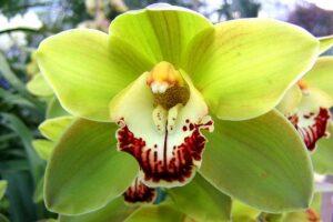 Orquídea verde | Significado, cuidados y fotos