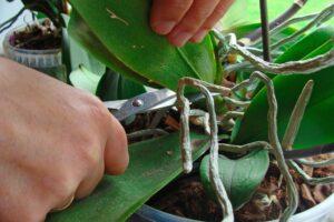 Cómo podar orquídeas paso a paso | La guía más completa