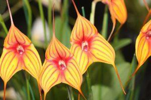 Orquídeas Masdevallia